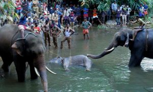 Indian Elephant Passes on in the Wake of Eating Natural Product Pressed with Sparkler, Police Researching