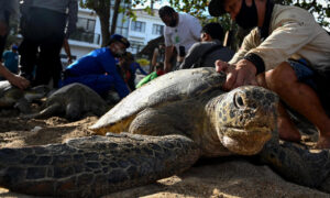Indonesia discharges 25 ocean turtles saved in attack on poachers